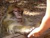 The apes eat popcorn that visitors offer them -- at the Montagne des Singes in Alsace, France