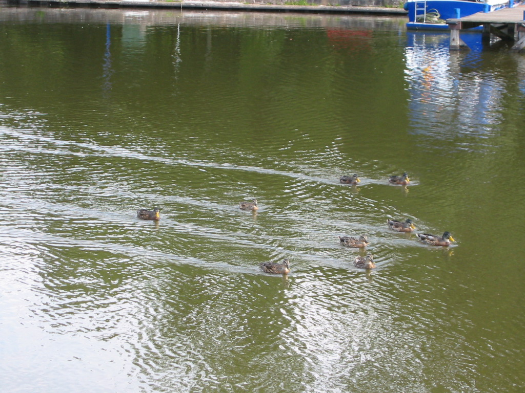 A duck flotilla swims by.