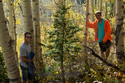 This picture isn't great. The little pine was full of gold aspen ornaments but the focus is fubar.