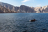 Dolphins swimming in the waters off Musandam, Oman
