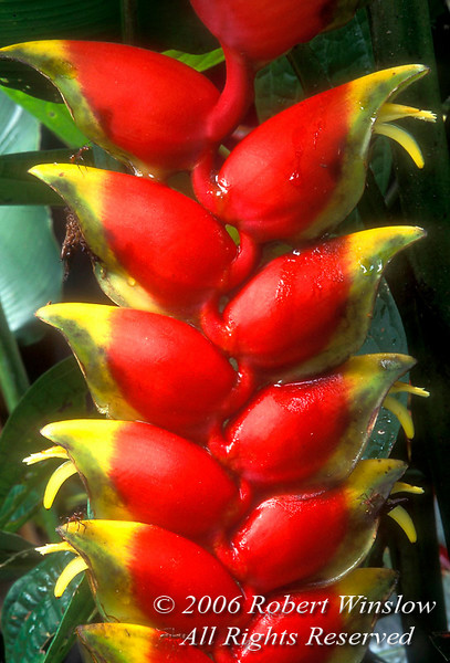 Heliconia spp. Flower, Amazon Basin Rain Forest, Ecuador