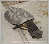 At a shopping area in Iquitos, Peru, we saw this very unusual turtle, which was the pet of one of the shopkeepers.  Not a great shot but such an unusual animal.