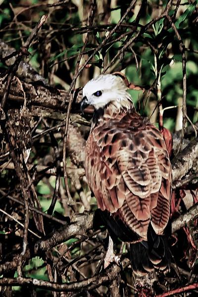 IMG_0615immature (2nd yr) Black collared Hawk