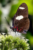 _MG_0402 Heliconius sp