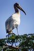 _MG_0688 wood stork