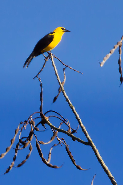 _MG_0579oriole black bird