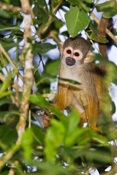 _MG_0696 squirrel monkey