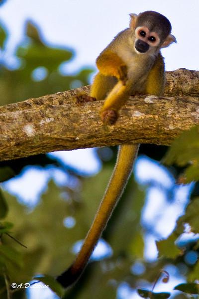 _MG_0693 squirrel monkey