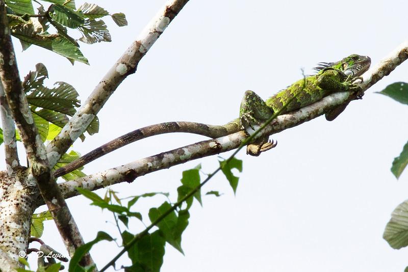 _MG_0498 iguana