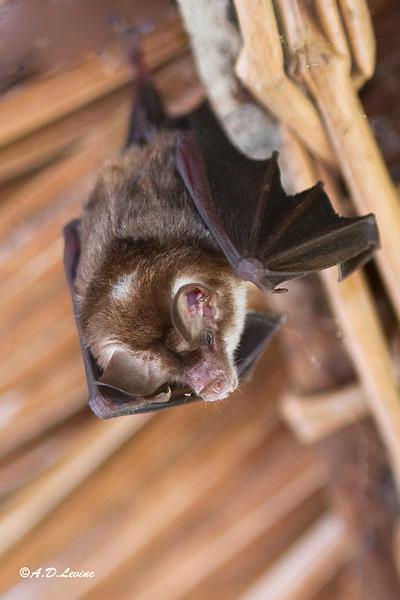 _MG_0641 amazon bat