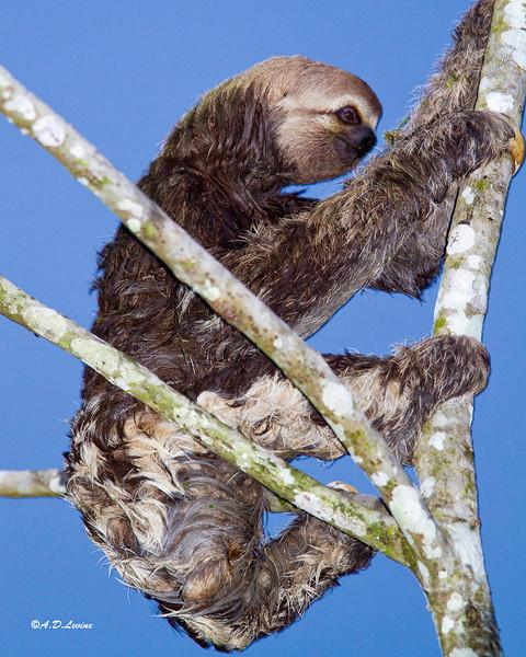 _MG_0790 3 toed sloth