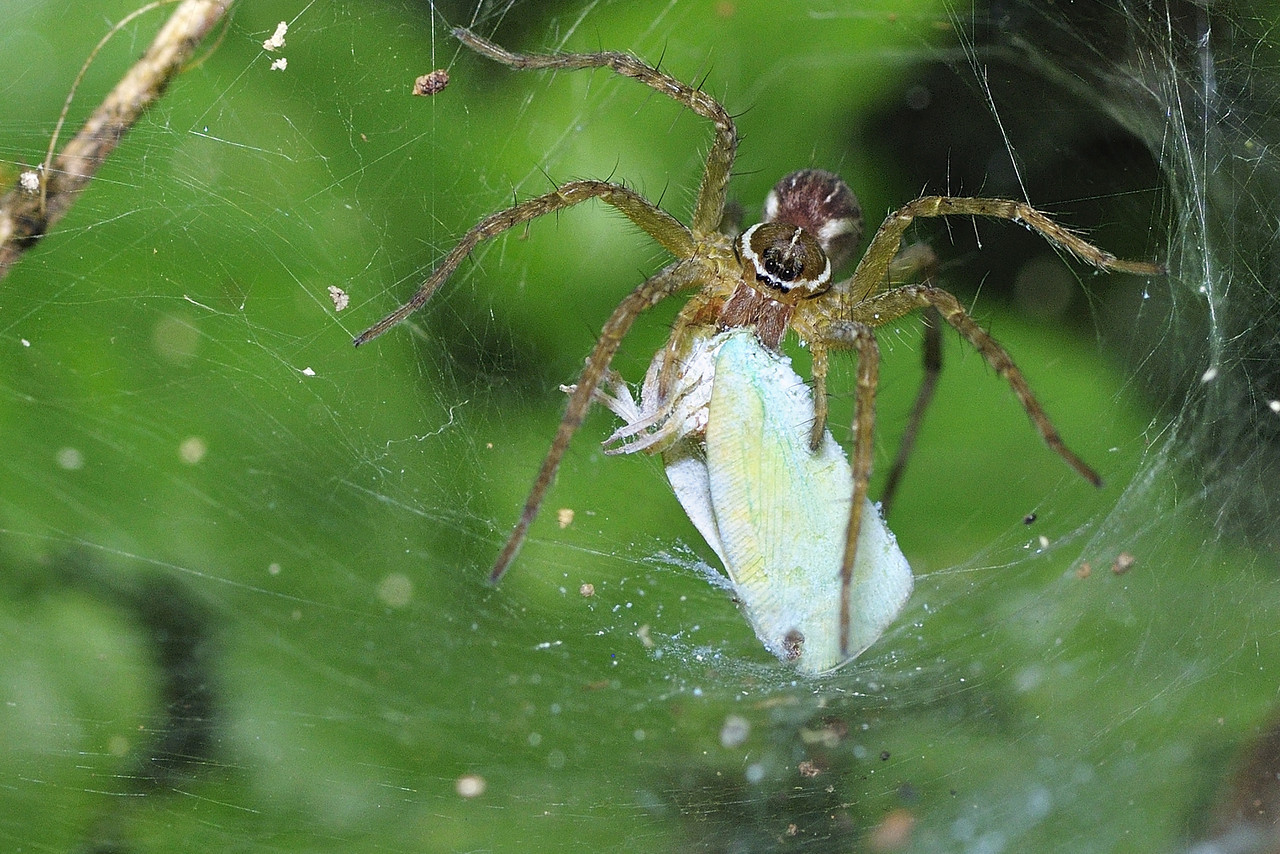 Funnel spider with a plant hopper kill