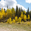 Beautiful Autumn colours  of the Shaking Aspen in the Grand Canyon National Park approaching the North Rim pn National Scenic Byway 67