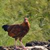 Free Range chicken,<br /> Kauai