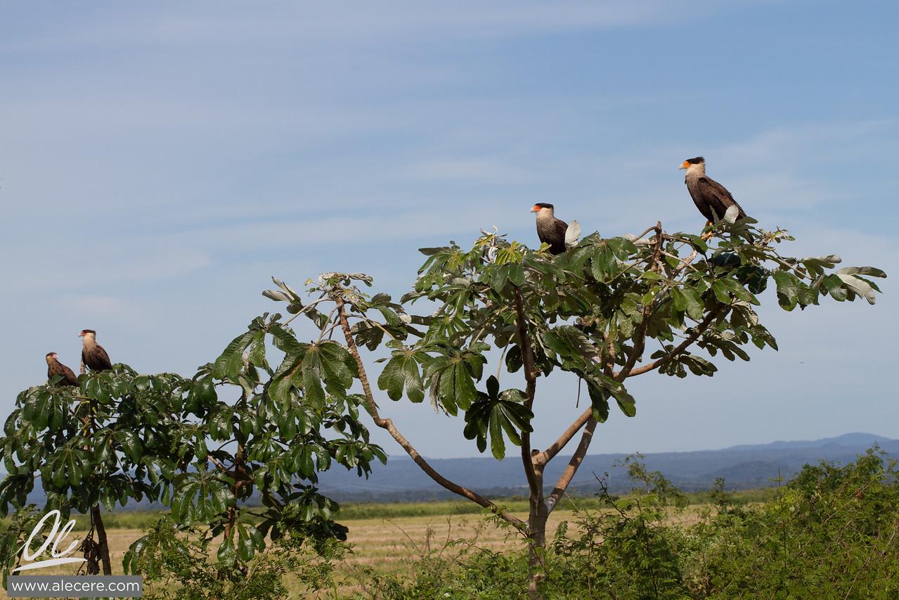 One hawk, two hawks, three...