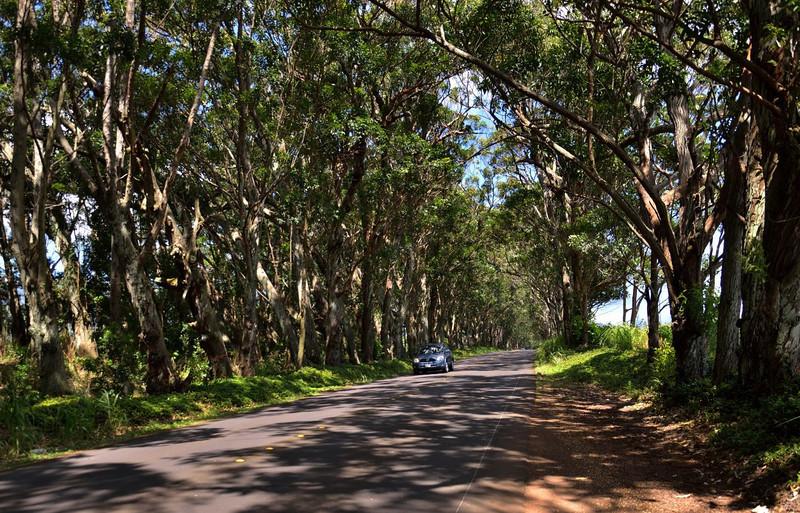 The Tunnel of Trees, Highway 520, <br /> Maluhia Road, Kauai.
