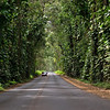 The Tunnel of Trees, Highway 520, <br /> Maluhia Road, Kauai.