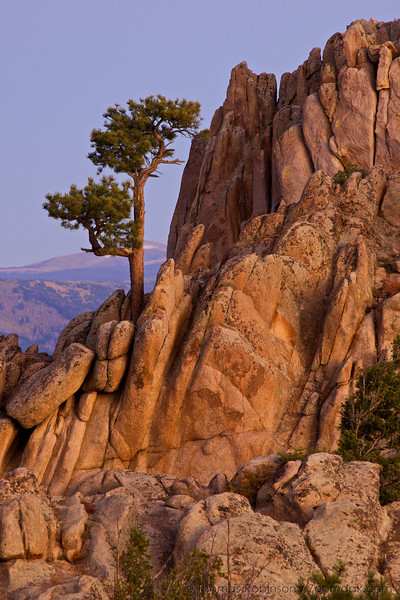 A pine tree grows out of rock formation during sunrise at Hartman Rocks Recreational Area near Gunnison, Colorado.
