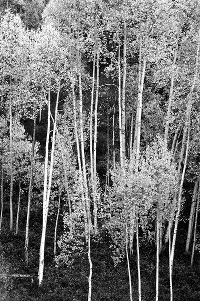 A grove of aspen trees in black and white.