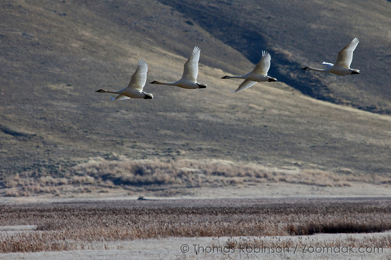 After a trumpeter swan (Cygnus buccinator) charged a courting couple, the couple chased it off the lake and into the air at the National Elk Refuge near Jackson, Wyoming.