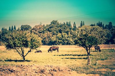 Cows on Soilborn Farm