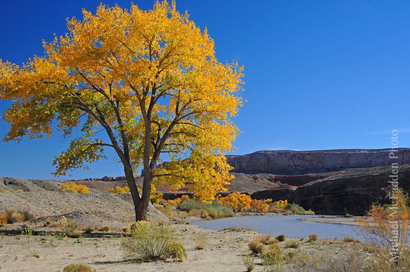 San Juan River Cottonwood Near Bluff Utah