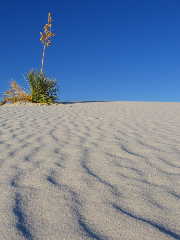 Sand and flower in White Sands, New Mexico
