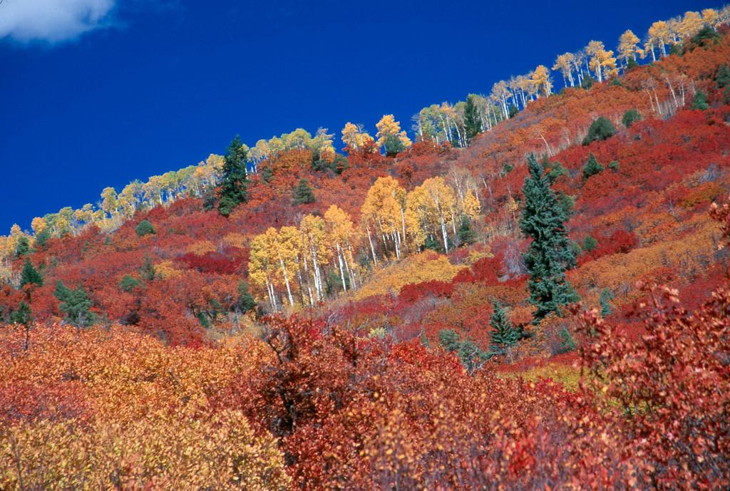 Aspens Marching in Fall, Aspen, Colorado