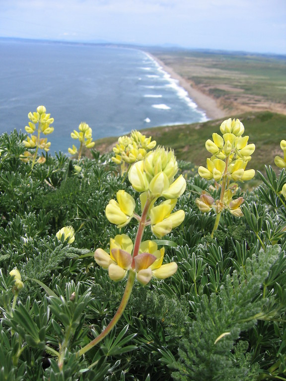 Point Reyes beach and yellow flower in Northern California