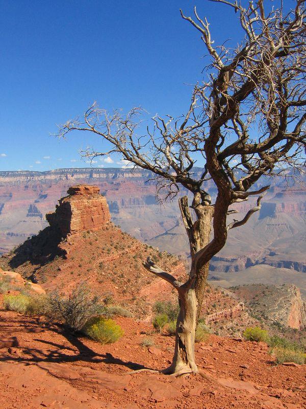 Tree in the Grand Canyon, Arizona