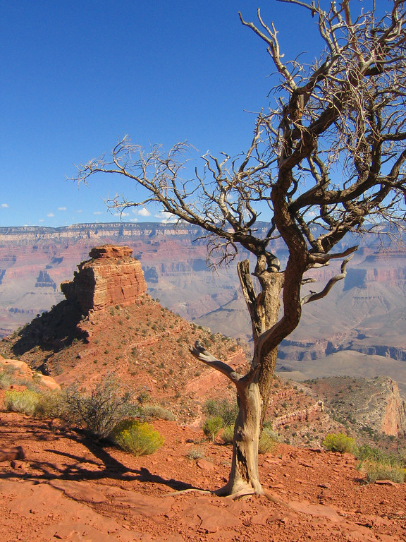 Tree in the Grand Canyon, Arizona
