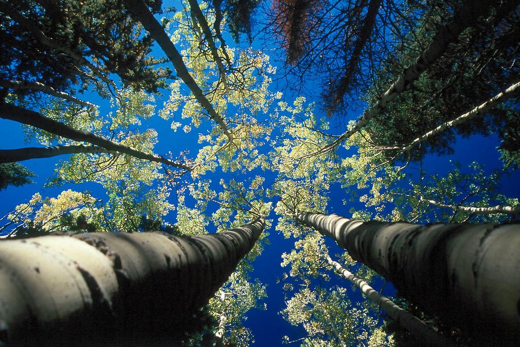 Aspen Trees Up, Arizona