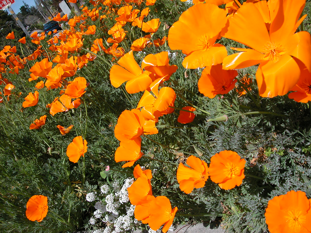 Santa Cruz poppies, California