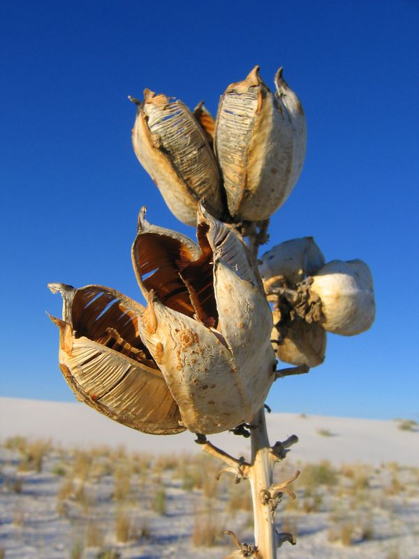 Flower bud in White Sands, New Mexico