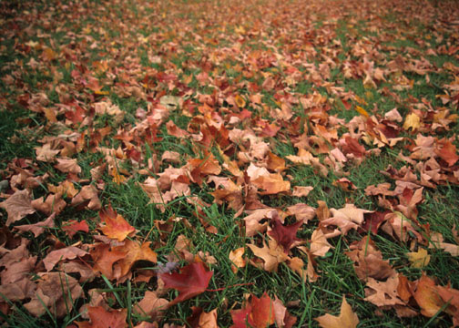 Fall leaves on the grass in New Jersey