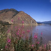 Yukon River with fireweed in foreground in Alaska.