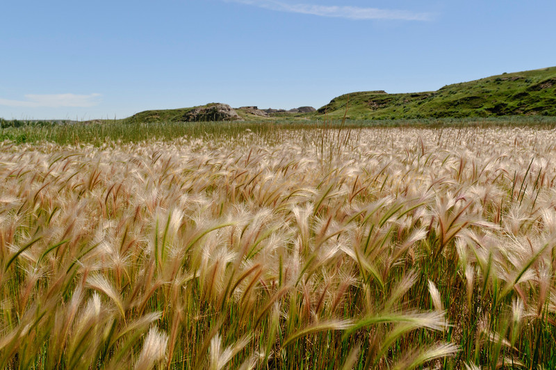 Wild grasses grow in Alberta Badlands