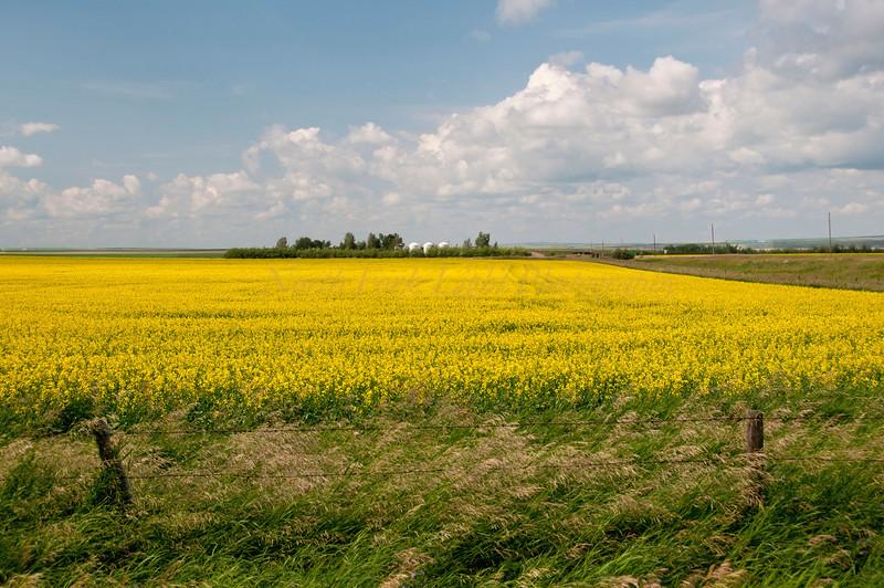 Canola fields