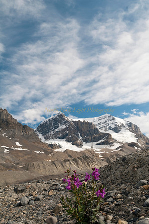 Fireweed grows in glacial moraine.