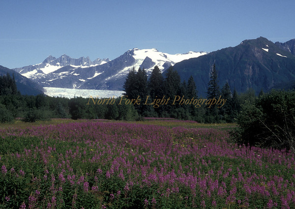 Mendenhall Glacier near Juneau Alaska with field of fireweed in foreground.