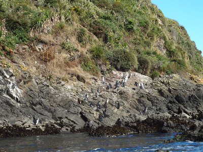 The mixed Magellanic and Humboldt penguin colony