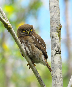 Austral Pygmy Owl, Glaucidium nana, Alerce Andino National Park, Chile