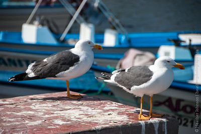 Yellow-footed gulls