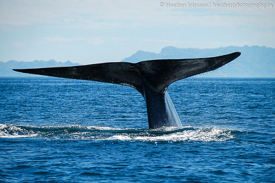 Classic Blue Whale tail shot