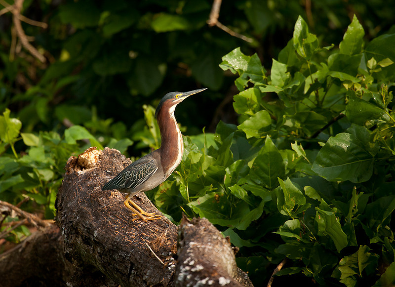 Green heron (butorides virescens).
