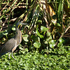 Bare-throated Tiger Heron (tigrisoma mexicanum).
