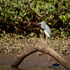 Tricolored Heron (egretta tricolor).