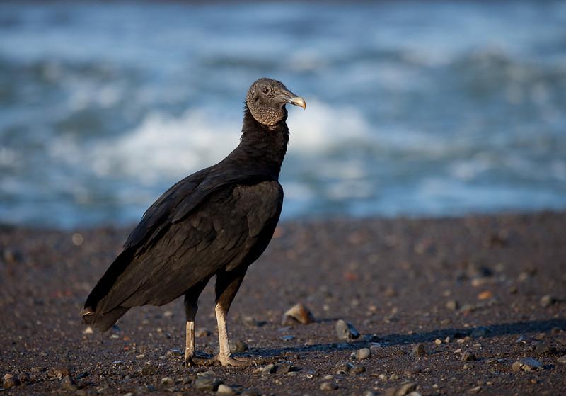 Vulture at Boca Nosara.