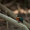 American Pigmy Kingfisher (chloroceryle aenea).