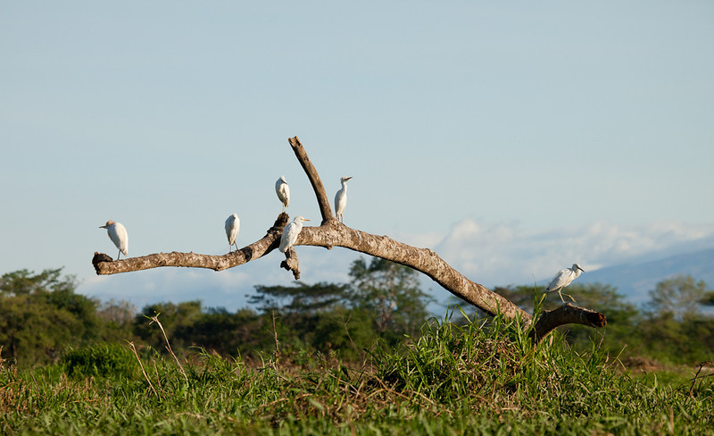 Egrets on dead tree.